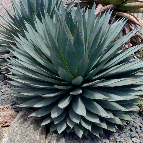 Agave Blue Glow