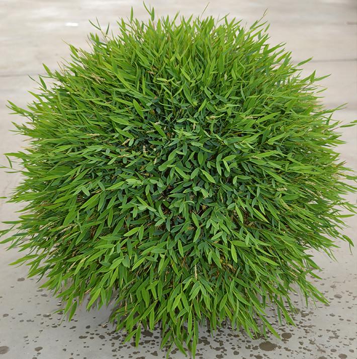 Pogonatherum paniceum Baby Panda Grass